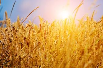 Wisp de trigo ao pôr do sol