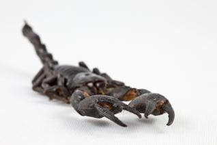 Black Scorpion close up