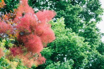 Australischen Strauch Rauch Baum