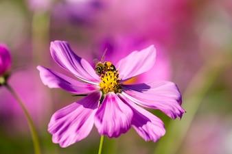 Biene auf rosa Kosmos Blume im Feld blüht