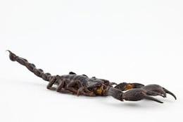 Black Scorpion close up up