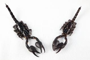 Black Scorpion Paar isoliert