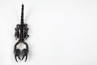Black Scorpion schwarz
