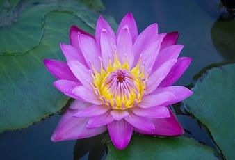Blaue Lotusblüte