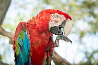 Blauer und roter Ara Papagei
