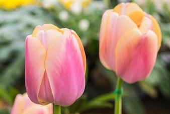Bunte Tulpe im Frühling