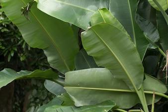 Close up Baum der Bananenplantage