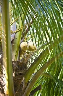 Cocunut Baum