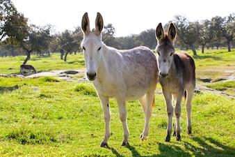 Donkeys in einem Feld