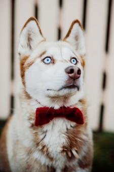 Ein reinrassiger sibirischer Husky-Hund ohne Leine draußen in der Natur an einem sonnigen Tag.