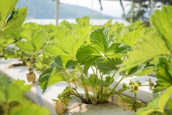 Erdbeer-Hydroponische Farm