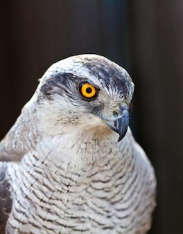 Falke Hühnerkopf Kopf