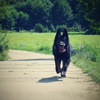 Fast laufender Schäferhund