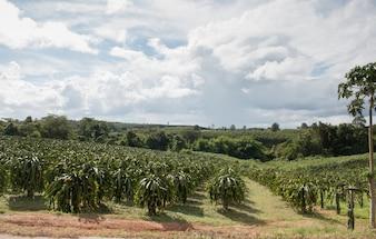 Feld der Drachenfruchtplantage in Thailand, Dieses ist Lieblingsobst in Asien