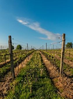 Feld Landwirtschaft Weinberg Sonne Natur Wein