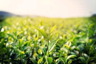 Frische Teeblätter am Morgen mit Sonnenlicht