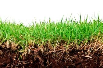 Frischer Frühling grünes Gras mit Erde isoliert auf weißem Hintergrund.