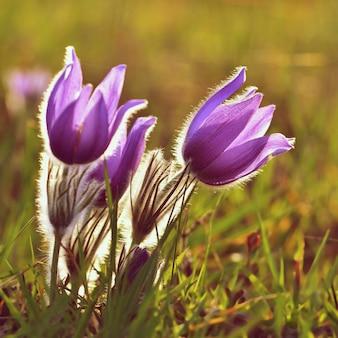 Frühlingsblumen. Schön blühende Pasque Blume und Sonne mit einem natürlichen farbigen Hintergrund. (Pulsatilla grandis)