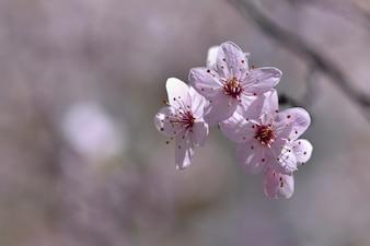 Frühlingsblumen. Schön blühender Baumzweig. Kirsche - Sakura und Sonne mit einem natürlichen farbigen Hintergrund.
