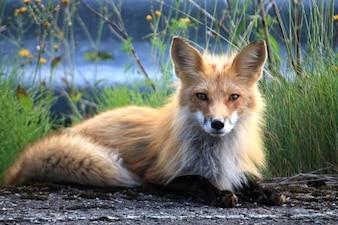 Fuchs perce canada quebec