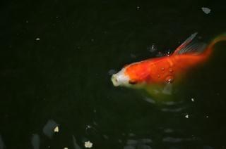 Teichfische koi download der kostenlosen fotos for Koi und goldfische in einem teich
