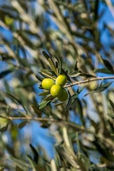 Grüne Oliven auf einem Baum