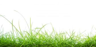 Grünes Gras auf weißem Hintergrund