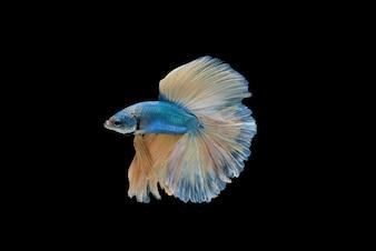 Halfmoon Betta splendens oder siamesische kämpfende Fische isoliert