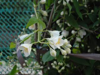 Jasmin, Blume