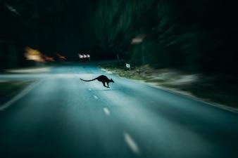 Känguru überquert die Straße am Abend. Tierübergang Gefahr Konzept.