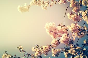 Kirschbaum Blumen