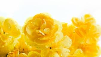 Knospen der gelben Blüten