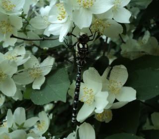 Libelle auf Jasmin