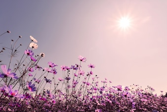 Lila Ton des Kosmos Blumenfeld in Sonnenschein. Süße und Liebe Hintergrund Konzept