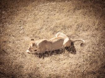 Löwin essen Fleisch