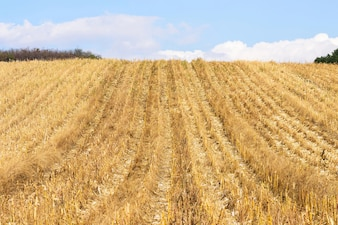 Maisfeld nach der Ernte im Herbst