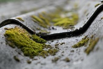 Moos und Wassertropfen wachsen auf der Dachziegel