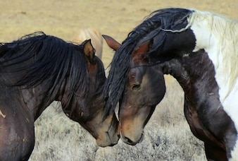 Mustangs Pferde wild wyoming Landschaft