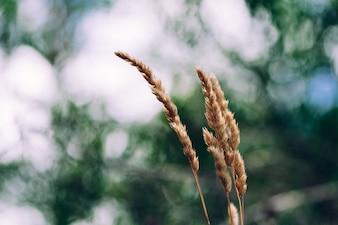 Nahaufnahme des trockenen wilden Grases in der Natur auf unscharfen Hintergrund.