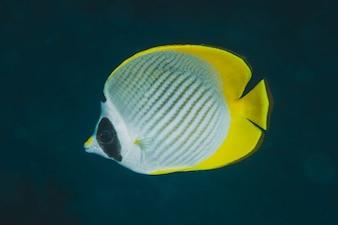 Nahaufnahme eines tropischen Fisches