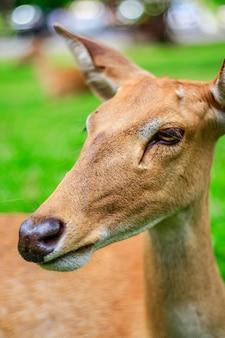 Nahaufnahme von Elds Hirschkopf erschossen, im Zoo