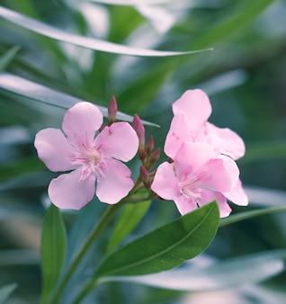Oleander rosa Blume auf einem grünen Blättern Hintergrund