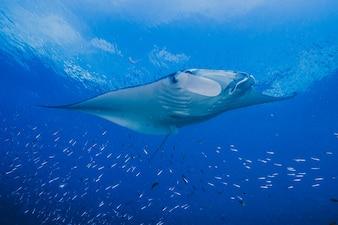 Ozeanische Manta im Ozean schwimmen