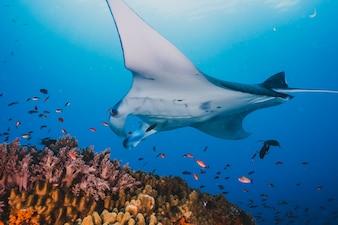 Ozeanische Manta Schwimmen im Meer