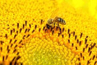 """""""Biene auf gelber Blume"""""""