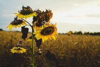 """Sonnenblumen im Feld"""