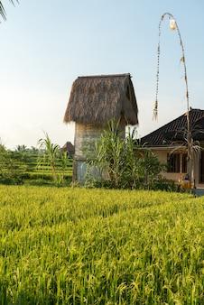 Reisfeld in Bali