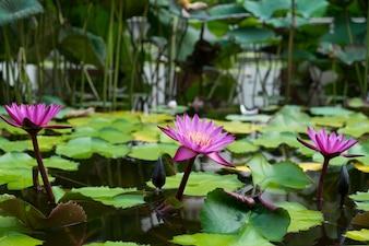 Rosa Lotus auf Wasser