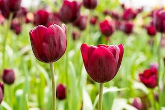 Rote Tulpe im Frühling