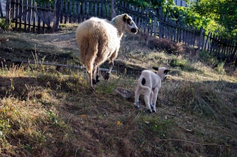 Schaf und Lamm auf der Wiese